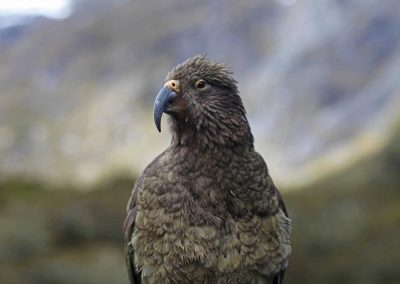 Kea, Milford Sound, New Zealand